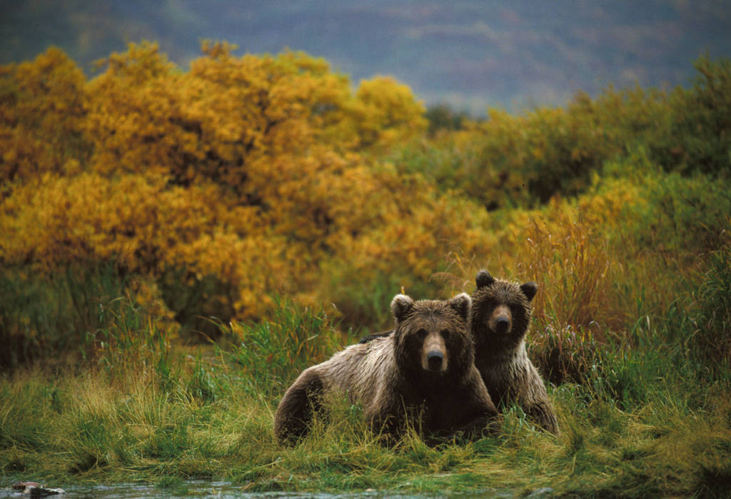 Photo: Grizzly bears in Katmai National Park, Alaska.