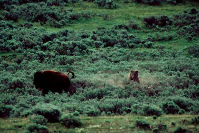 Photo: A grizzly chasing bison in the wild in Yellowstone National Park.
