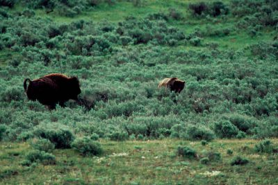 Photo: Grizzly bear and bison in the wild of Yellowstone National Park.