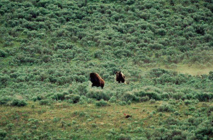 Photo: Grizzly bear chasing bison in the wild of Yellowstone National Park.