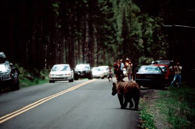 Photo: Tourists watch a grizzly bear as it crosses the road in Yellowstone National Park.