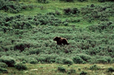 Photo: Grizzly bear in the wild in Yellowstone National Park.