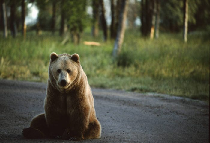 """Photo: """"Bear World"""" in Rexburg, Idaho on the way to Yellowstone National Park provides visitors with an up-close encounter with grizzly bears."""