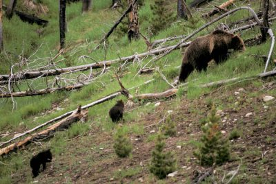 Photo: Grizzly bear and cubs in Yellowstone National Park.