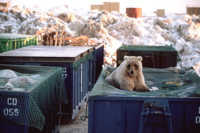 Photo: Grizzly bears attracted to the dumpsters at the oil field sites in Prudhoe Bay, AK.