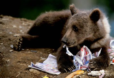 Photo: A grizzly bear cub plays in trash at a dump on Kodiak Island, Alaska.