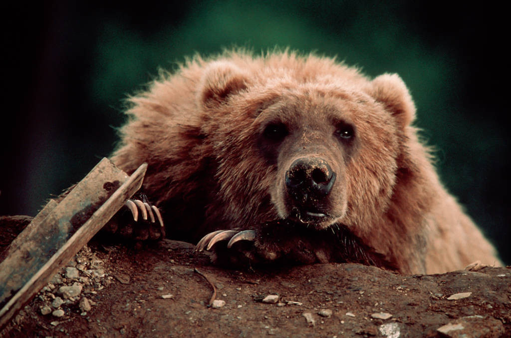 Photo: A grizzly forages for food in a dump on Kodiak Island, Alaska.