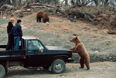 Photo: These grizzly bears in Larson Bay, Alaska, discovered that the dump is a source of easy meals.