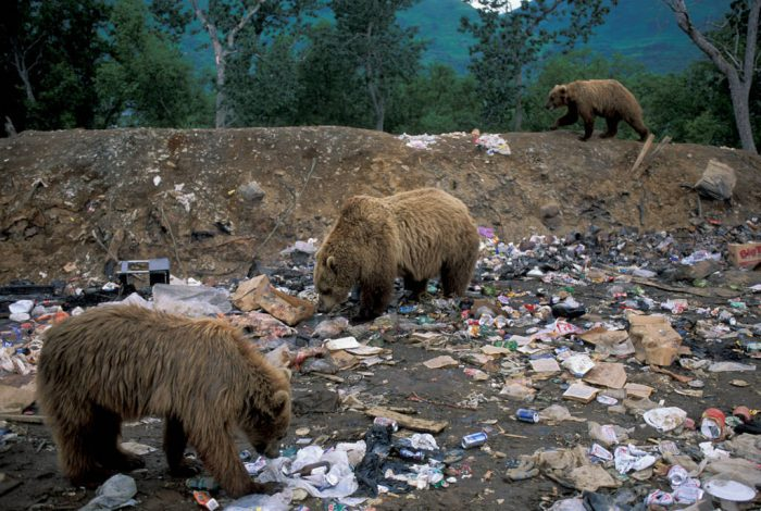 Photo: These grizzly bears in Larson Bay, AK have found an easy meal at the garbage dump.