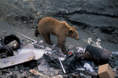 Photo: This grizzly bear in Larson Bay, AK has found an easy meal at the garbage dump.