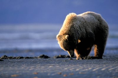 Photo: A grizzly bear digs for clams at Hallo Bay, Alaska.
