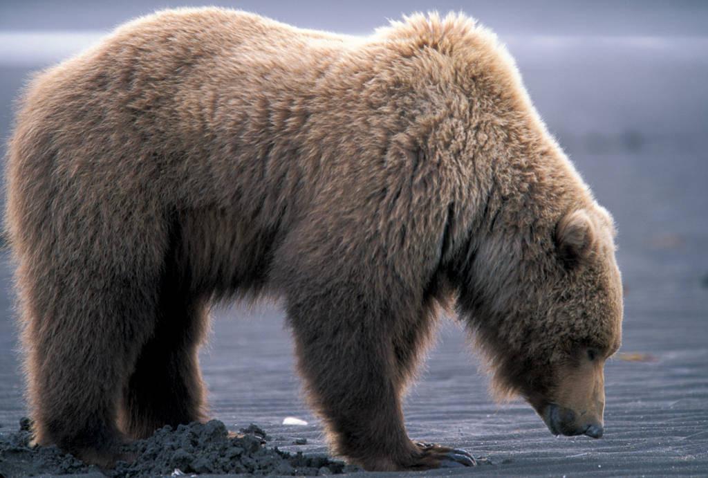 Photo: A grizzly bear digs for clams at Hallo Bay, Alaska.
