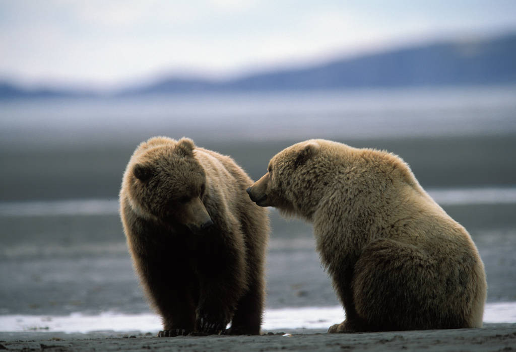 Photo: Grizzly bears dig for clams at Hallo Bay, Alaska.