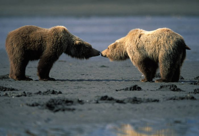 Photo: Grizzly bears dig for clams at Hallo Bay, Alaska.