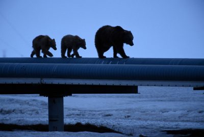 Photo: A mother grizzly and her cubs walk on top of an oil pipeline in Prudhoe Bay, Alaska.