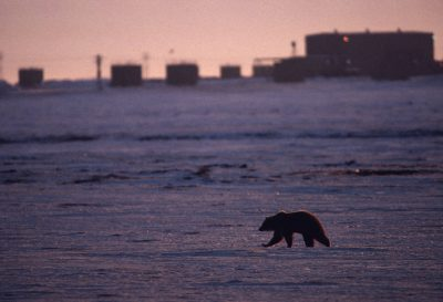 Photo: A grizzly bear crosses the tundra in Prudhoe Bay, Alaska.