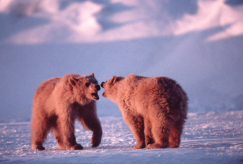 Photo: Grizzly bears in the Arctic (on the Beaufort Sea in the Prudhoe Bay area.)
