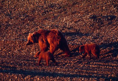 Photo: Mother grizzly and cubs in the Arctic (on the Beaufort Sea in Prudhoe Bay.)