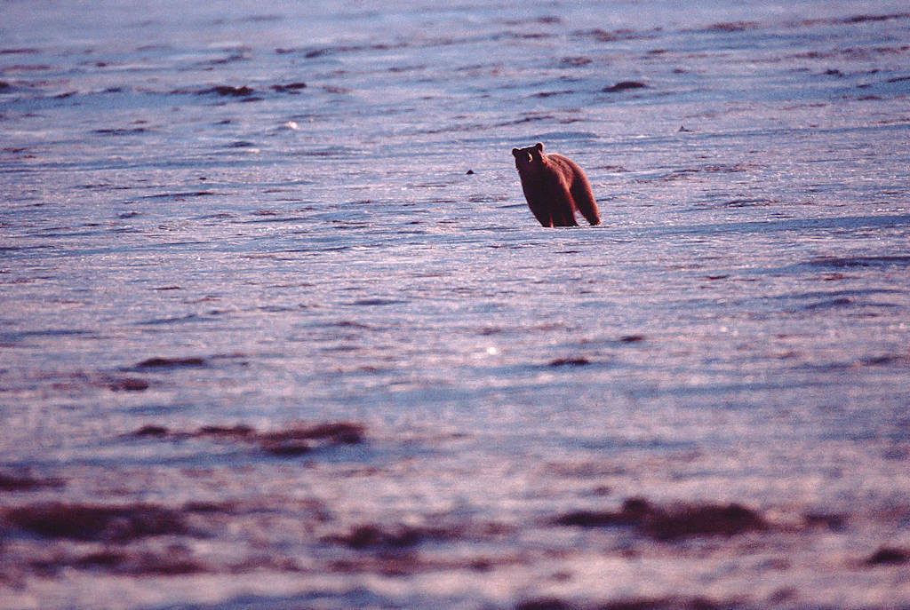 Photo: Grizzly bear in the Arctic (on the Beaufort Sea in the Prudhoe Bay area.)