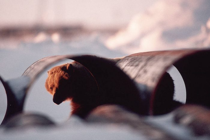 Photo: A grizzly bear peers through pipe sections in Prudhoe Bay, Alaska.