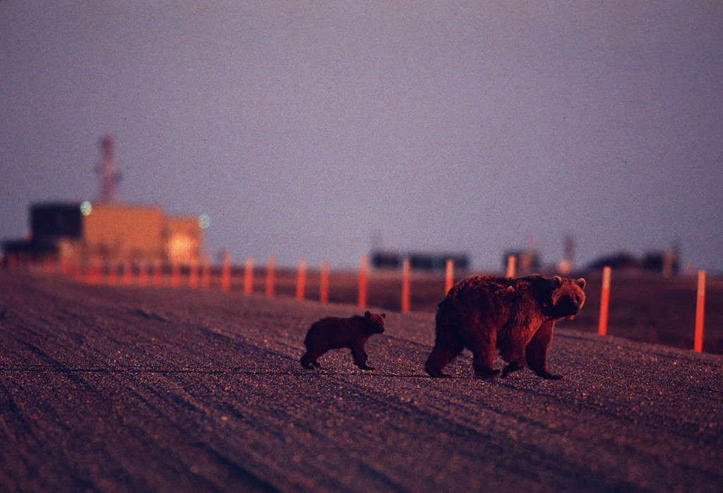 Photo: A mother grizzly and her cub in Prudhoe Bay, Alaska.