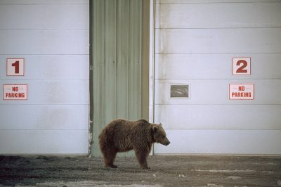 Photo: Grizzly bear in Prudhoe Bay, Alaska.