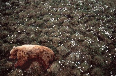 Photo: Grizzly asleep in cotton flower on Alaska's north slope.