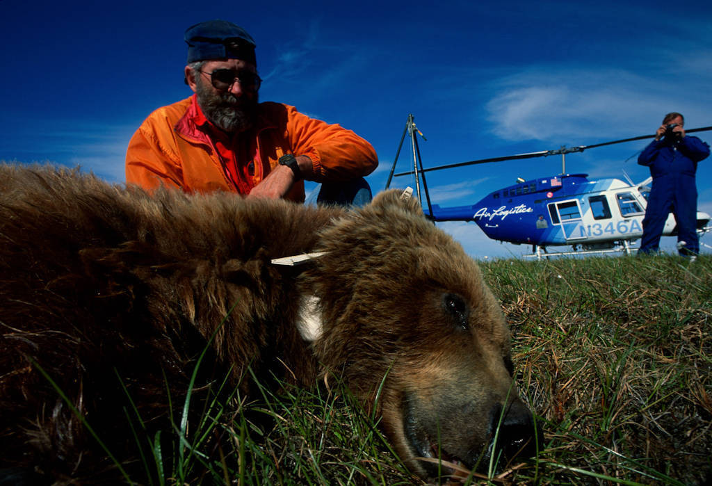 Photo: Biologists collar a tranquilized grizzly bear near Prudhoe Bay, Alaska on the Arctic coastal plain.