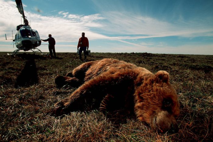 Photo: Biologists collared this tranquilized grizzly bear near Prudhoe Bay, Alaska on the Arctic coastal plain.