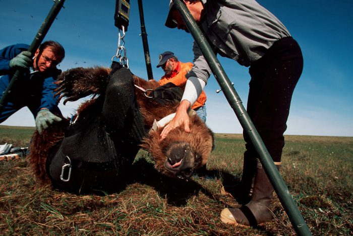Photo: Biologists weigh and collar a tranquilized grizzly bear near Prudhoe Bay, Alaska on the Arctic coastal plain.
