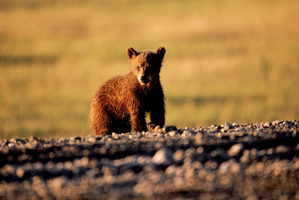 Photo: Grizzly bear cub at Pruhoe Bay on the Beaufort Sea.