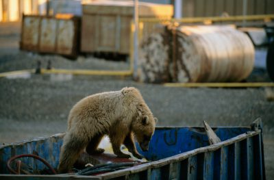 A vulnerable (IUCN) and federally threatened polar bear (Ursus maritimus) foraging in a dumpster at Prudhoe Bay, Alaska (one of the world's largest industrial zones.)