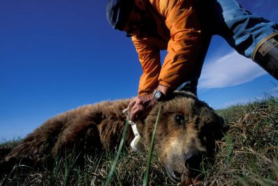 Photo: Biologist Dick Shideler studies tranquilized Grizzly Bears in Prudhoe Bay, Alaska.