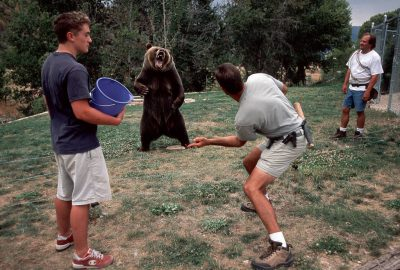 "Photo: The star of Dr. Doolittle II, Tank the Bear is trained to ""open wide"""