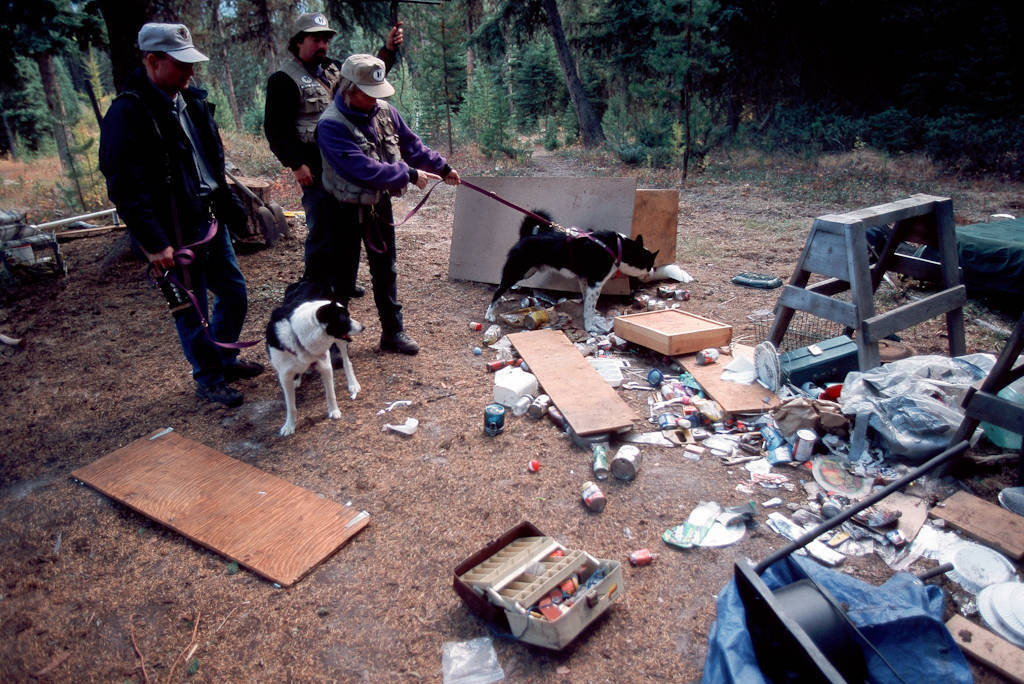 """Photo: Montana Fish & Game employees work with Carrie Hunt of the Wind River Bear Institute and their Karelian bear dogs to chase """"problem bears"""" away from areas used by people"""