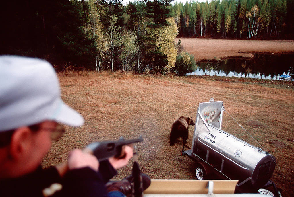 Photo: Montana Fish & Game employee Tim Manley fires a rubber bullet at a grizzly bear as it's being released near Glacier National Park.