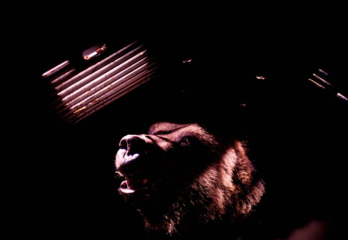 Photo: A grizzly bear sits in a culvert trap and waits to be relocated.