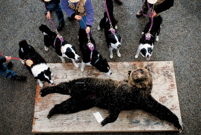 Photo: Veteran bear biologist Carrie Hunt of the Wind River Institute trains Karelian bear dogs to recognize bears' scent