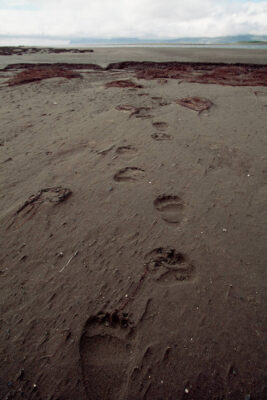 Photo: Bear tracks on the beach of Togiak NWR, Alaska.
