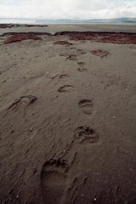 Photo: Bear tracks on the beach of Togiak NWR, Alaska.