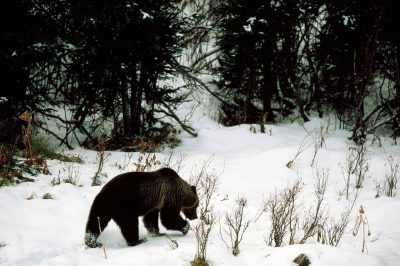 Photo: A grizzly bear wanders through fresh snow in late fall nearCanmore, Alberta.