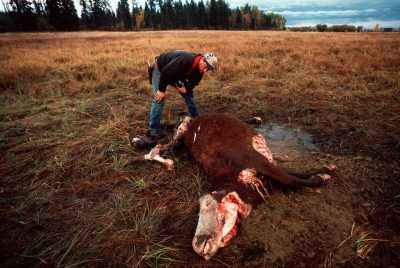 Photo: Cow carcass near Whitefish, MT that has been fed on by grizzly bears (although the cause of death is not known.)