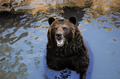 Grizzly bear (Ursus arctos horribilis) at the Sedgwick County Zoo.