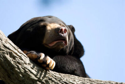 Photo: Sun bear asleep at Omaha's Henry Doorly Zoo.