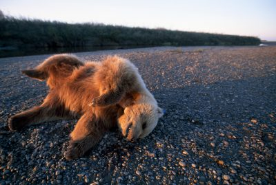 A dead grizzly bear (Ursus arctos horribilis) on a riverbank probably died from fighting another.