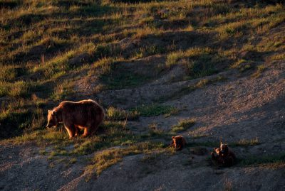 A mother grizzly (Ursus arctos horribilis) bear and her cubs on Arctic tundra.