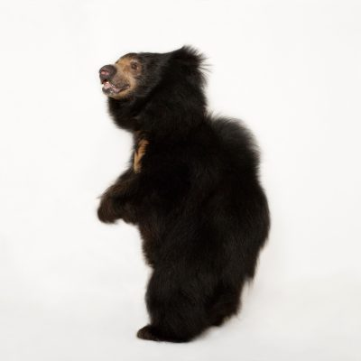 A vulnerable sloth bear (Melursus ursinus) tentatively steps onto the white background at the Sunset Zoo.