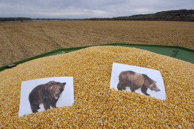 Photo: This was once the place where Lewis and Clark first saw a grizzly bear but it is now a corn field.