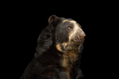 A vulnerable spectacled bear (Tremarctos ornatus) named Billy at Parque Jaime Duque near Bogota, Colombia.