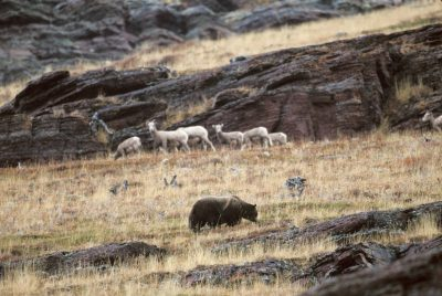 Photo: A grizzly bear forages alongside bighorn sheep in Glacier National Park.